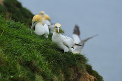 Un buon becco-pieno di erba come sula nordica riunisce il materiale per il nido Fotografia Stock