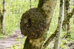 Un burl que crece en árbol imágenes de archivo libres de regalías