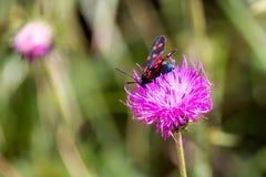 Un burnet de six-tache de mite (filipendulae de Zygaena) sur une fleur pourpre Photos libres de droits