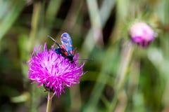 Un burnet de six-tache de mite (filipendulae de Zygaena) sur une fleur pourpre Photos stock
