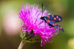 Un burnet de six-tache de mite (filipendulae de Zygaena) sur une fleur pourpre Photographie stock libre de droits