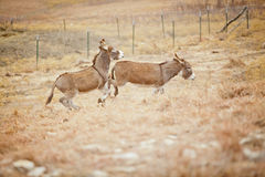 Un burro bucking Fotografía de archivo