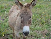 Un burro derecho de la cara fotografía de archivo libre de regalías