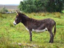 Un burro en Irlanda imagenes de archivo