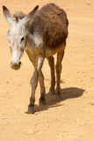 Un burro gris en Colombia Imágenes de archivo libres de regalías