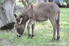 Un burro joven en un claro en el campo Fotografía de archivo libre de regalías