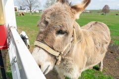 Un burro que mira a escondidas a trav?s de una cerca blanca fotografía de archivo libre de regalías