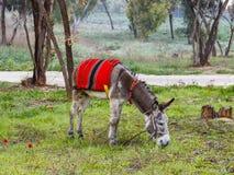 Un burro que pasta adentro en el prado verde Foto de archivo