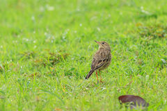 Un Bushlark indochinois sur le champ Photographie stock libre de droits
