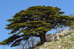Un cèdre magnifique d'arbre de Liban dans les montagnes de réservation de biosphère de Shouf, Liban photo stock