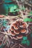 Un cône à feuilles persistantes sur le plan rapproché de sol, chute Macro vi de cône de pin Image stock