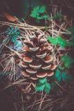 Un cône à feuilles persistantes sur le plan rapproché de sol, chute Macro vi de cône de pin Photo stock