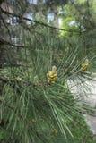 Un cône de pin à feuilles persistantes conifére en parc Photographie stock