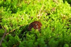 Un cône de sapin se trouve sur la mousse verte Photographie stock libre de droits