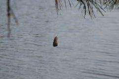 Un cône simple de pin balançant sur la ficelle au-dessus d'une certaine eau image libre de droits