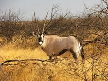 Un côté debout de gazella d'oryx (gemsbok) en fonction dans la longue herbe Image libre de droits