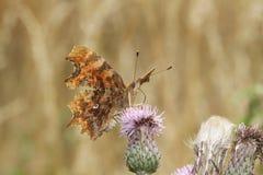 Un c-álbum del Polygonia de la mariposa de coma, nectaring en una flor del cardo fotografía de archivo libre de regalías