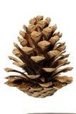 Un cône de pin image libre de droits
