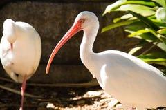 Un côté de l'oiseau blanc d'IBIS Photo libre de droits