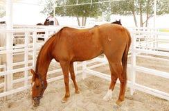 Un caballo árabe marrón hermoso que pasta Foto de archivo