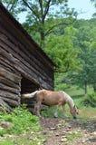 Un caballo belga Fotos de archivo libres de regalías