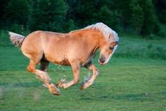 Un caballo belga hermoso Fotografía de archivo libre de regalías
