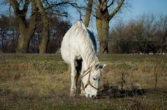 Un caballo blanco Foto de archivo libre de regalías