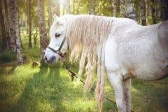 Un caballo blanco con una melena larga pasta en un prado cerca de una arboleda del abedul imagen de archivo