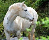 Un caballo blanco en una granja Imágenes de archivo libres de regalías