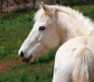 Un caballo blanco en una granja Imagen de archivo libre de regalías