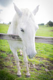 Un caballo blanco en una granja Fotos de archivo libres de regalías