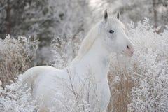 Un caballo blanco hermoso se coloca en el bosque otra vez foto de archivo libre de regalías