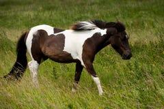 Un caballo blanco marrón Fotografía de archivo