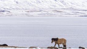 Un caballo camina con el frío duro Imagen de archivo