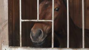 Un caballo de carreras marrón que se coloca en un prado El caballo que mira a escondidas de la parada metrajes