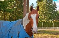 Un caballo de la pintura con una manta azul encendido Imágenes de archivo libres de regalías
