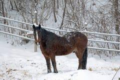 Un caballo de proyecto con la cara blanca en pasto del invierno Fotografía de archivo