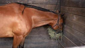 Un caballo del ante que come el heno en una parada de la granja en rancho almacen de video