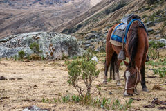 Un caballo ensillado Imagen de archivo libre de regalías