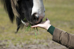Un caballo está comiendo fuera de una mano Imagen de archivo libre de regalías