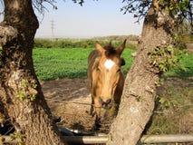 Un caballo hermoso en la granja foto de archivo