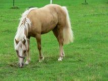 Un caballo joven y feliz del Palomino Imagenes de archivo