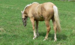 Un caballo joven y feliz del Palomino Imagen de archivo