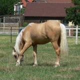 Un caballo joven y feliz del Palomino Foto de archivo libre de regalías