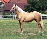 Un caballo joven y feliz del Palomino Imágenes de archivo libres de regalías