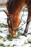 Un caballo marrón Foto de archivo