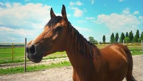 Un caballo marrón hermoso con una melena trenzada en coletas relincha reservado, el horselaugh, un retrato de un caballo metrajes