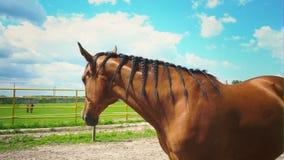 Un caballo marrón hermoso con una melena trenzada en coletas, un retrato de un caballo metrajes