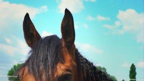 Un caballo marrón hermoso con una melena trenzada en coletas, un retrato de un caballo almacen de video