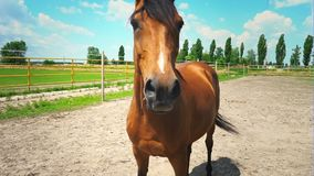 Un caballo marrón hermoso con una melena trenzada en coletas, un retrato de un caballo almacen de metraje de vídeo